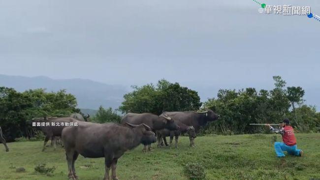 防牛結節疹!283隻野牛完成施打疫苗