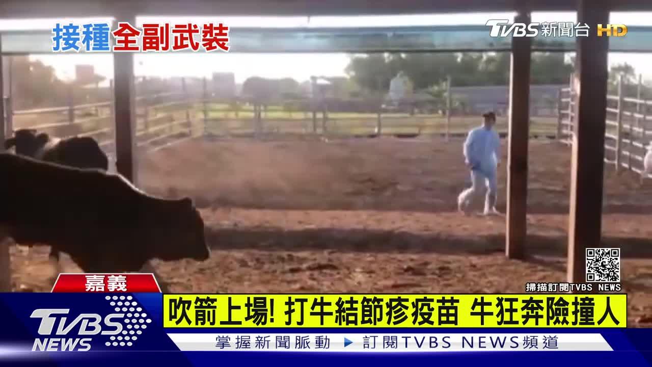 吹箭上場!打牛結節疹疫苗 牛狂奔險撞人