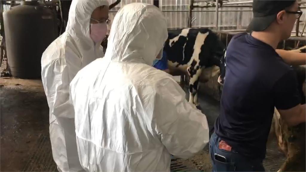 林口再爆牛結節疹? 同處疑增23頭牛發病