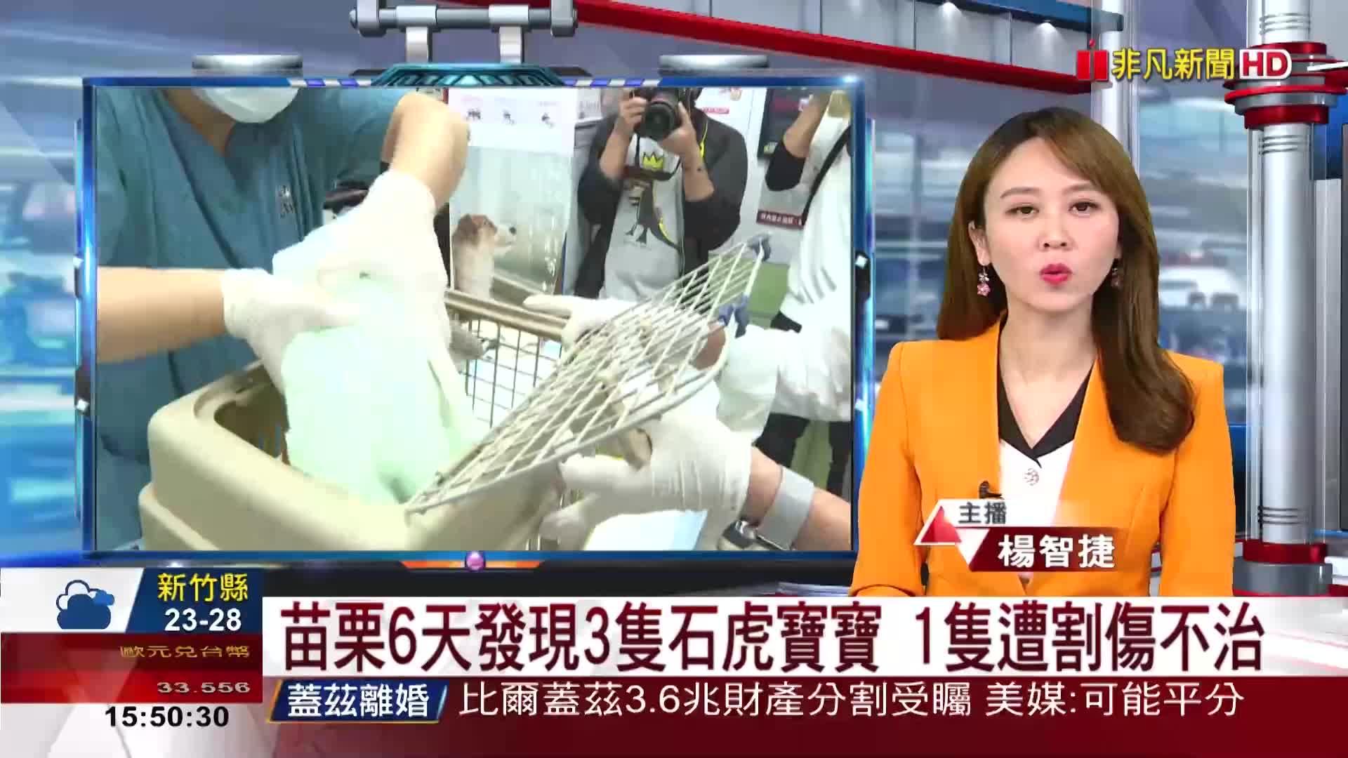苗栗6天發現3隻石虎寶寶 1隻遭割傷不治
