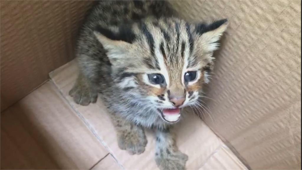 石虎繁殖季節 苗栗一週內發現三隻幼虎!