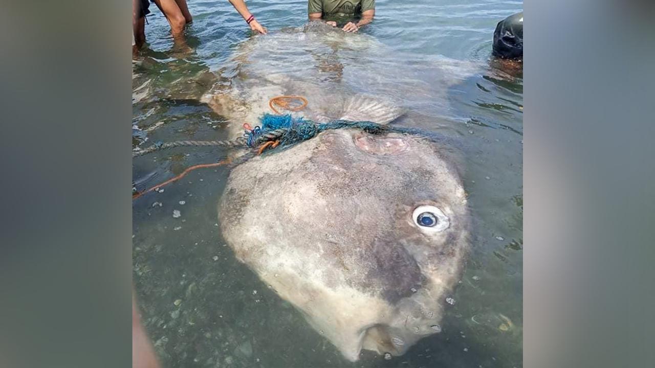Fishermen rescue giant sunfish stranded on beach