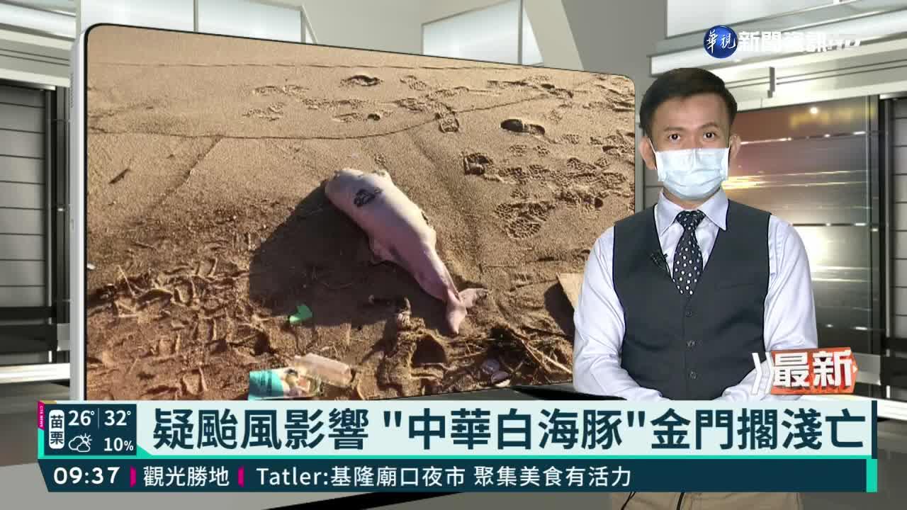 """疑颱風影響 """"中華白海豚""""金門擱淺亡"""