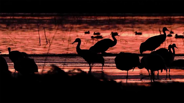 Nature: Sandhill cranes