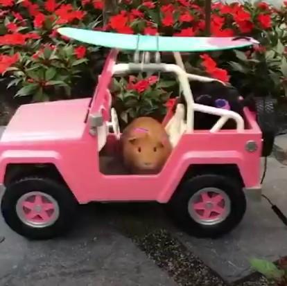 原來這才是名副其實的天竺鼠車車?!