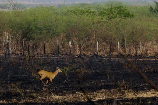 Incendios de dimensiones nunca vistas devoran parte del Pantanal brasileño