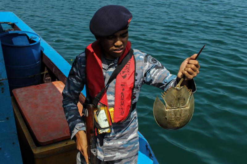 Un policía de Indonesia sostiene un cangrejo herradura. Foto: Maskur Has/SOPA Images/LightRocket via Getty Images.