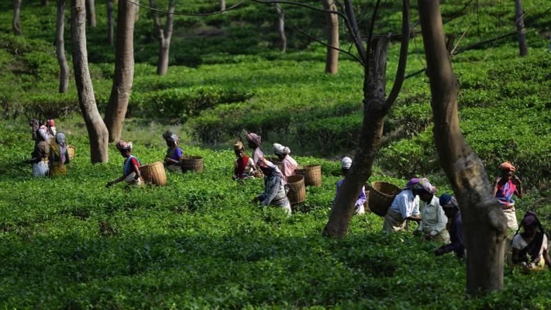 Teepflückerinnen arbeiten auf einer Teeplantage bei Bokakhat im indischen Bundesstaat Assam.