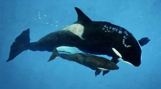 SeaWorld San Antonio confirms the death of 3-month-old killer whale