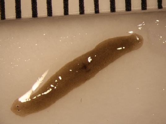 Flatworm grows second head after spending time in space