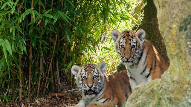 Sukacita and Bandar The Tiger Cubs
