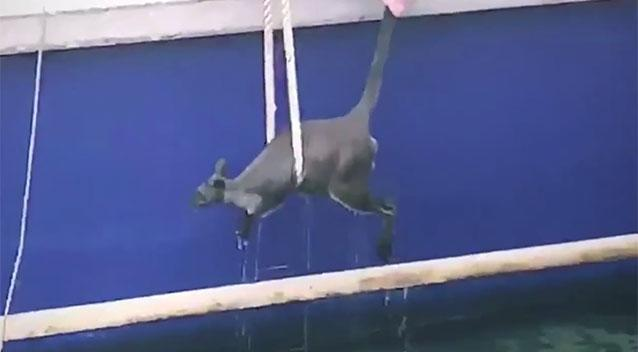 Wallaby plucked from Sydney Harbour by ferry staff