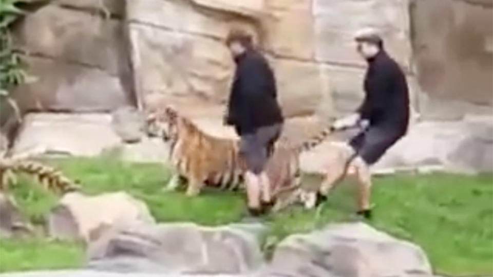 Dreamworld handlers filmed striking tiger pulling on its tail for Digging ground dream meaning