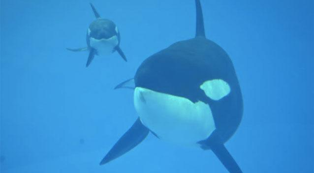 Last killer whale calf born at SeaWorld dies