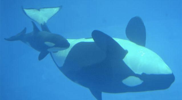 Baby killer whale born at SeaWorld dies