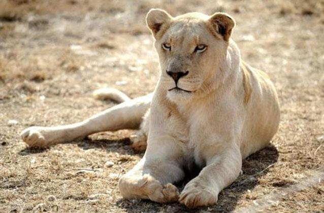 Lion mauls woman to death at wildlife refuge