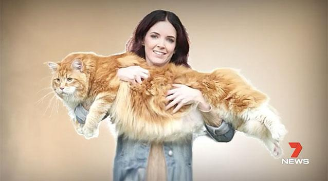 Melbourne Moggie Omar Is In Contention As The Guinness World Recordsu0027 Longest  Cat, Measuring 120cms Long. Picture: 7 News. U201c