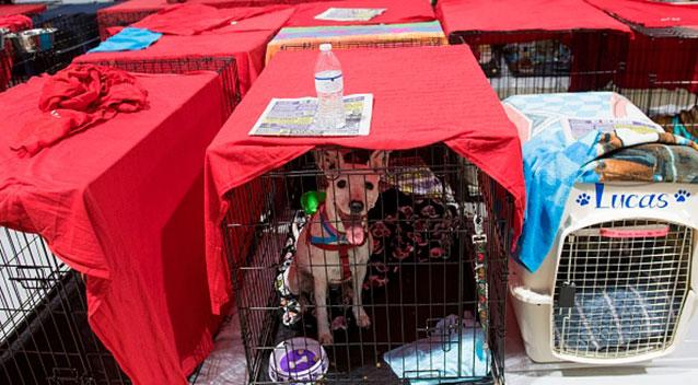 Dogs sit inside their cages as hundreds of people gather in a pet-friendly emergency shelter. Source Getty