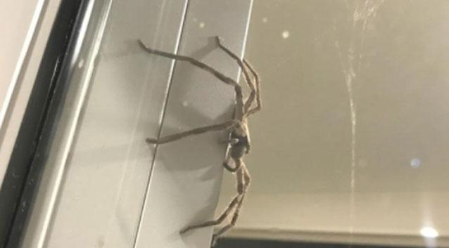 Terrified Queensland family trapped by 'angry' monster spider