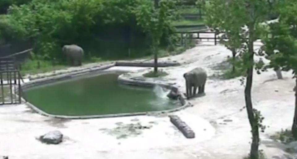 2 elephants rescue baby elephant from zoo's swimming pool