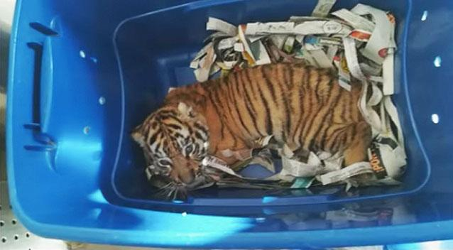 Adorable tiger cub found in mail by Mexican sniffer dog