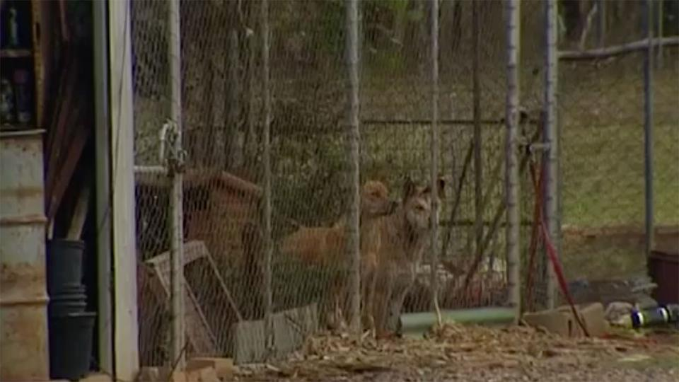 Woman, 78, Mauled By Three Dingoes In Western Sydney