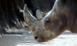 3D printed horns could help prevent rhino extinction