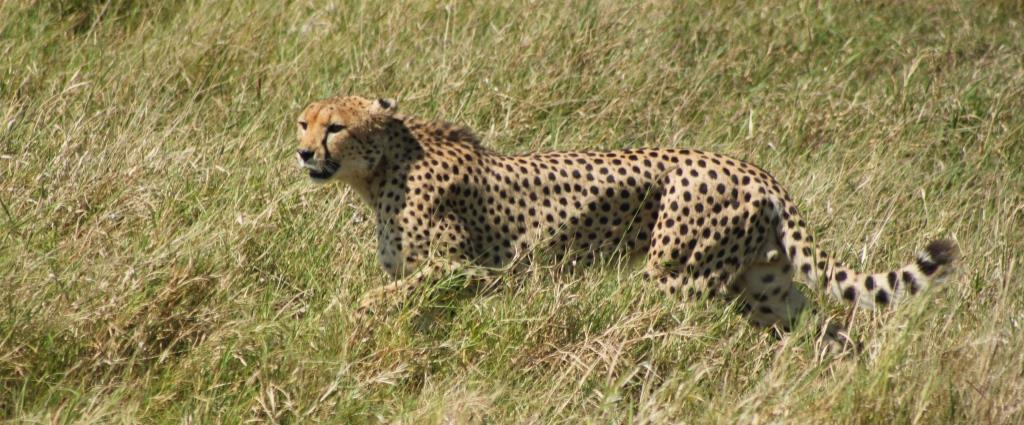 cheetah-in-grass
