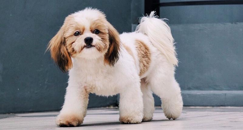 Pictured is a file photo of a Shih Tzu dog. A 34-year-old man has been arrested after he allegedly killed a Shih Tzu in an Auburn unit in Sydney's west. Source: Getty (file picture)