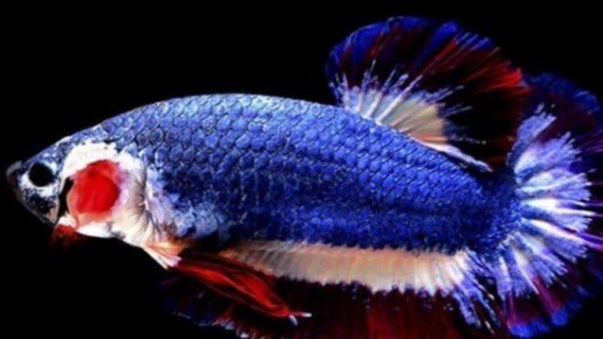 Seharga Motor! 5 Ikan Cupang dengan Harga Fantastis