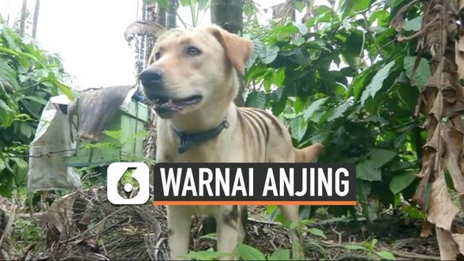 VIDEO: Petani Warnai Anjing Seperti Harimau Untuk Takuti Monyet