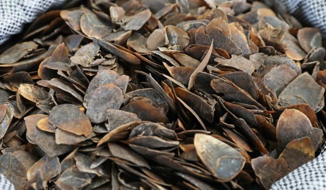 Pangolin scales seized by Hong Kong customs. Photo: K.Y. Cheng
