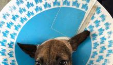 流浪犬頭頸受傷 嘉縣家畜所救援成功已被領養 (圖)