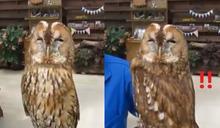 貓頭鷹超軟Q扭轉身體也要看前方 網笑:內建防抖功能!