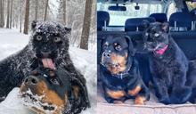 女子拯救小黑豹 牠與羅威納犬變成跨種族好朋友!
