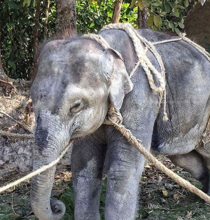 'Our research shows the widespread abuse of highly endangered baby and adult Asian elephants at tourist venues across South-East Asia' - STAE