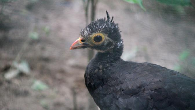 Unduh 77+  Gambar Burung Maleo  Paling Keren Free