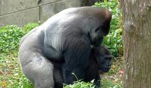 動物園金剛猩猩家族年底迎新成員(3) (圖)