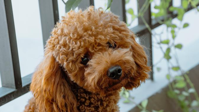 ilustarsi poodle/Photo by Tra Tran on Unsplash