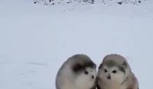 「一團小毛球」在雪地蹦蹦跳跳前進 超萌雪橇犬寶寶融化人心