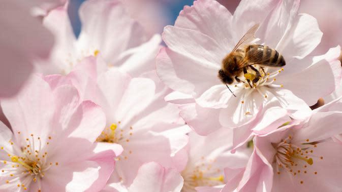 Seekor lebah mengumpulkan nektar dari bunga pohon sakura Jepang yang mekar di Stadtpark di Wina, Austria (22/3). (AFP Photo/Joe Klamar)