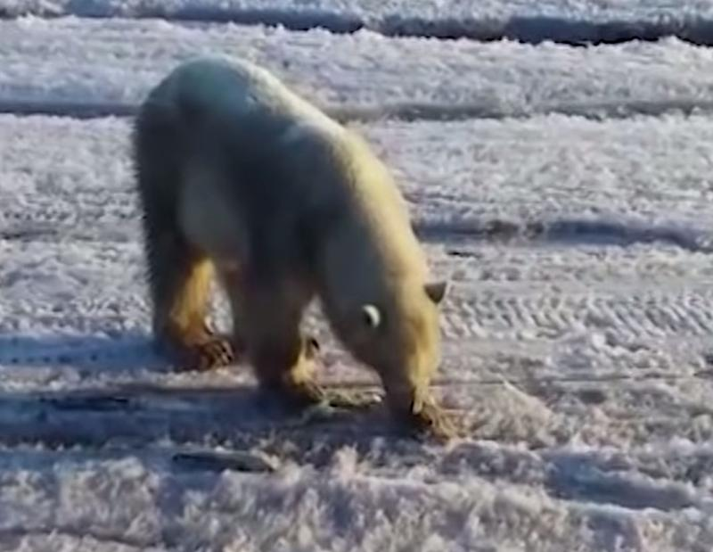 The polar bear shocked locals after it travelled 700km from home. Source: The Guardian