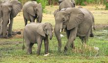 非洲350頭大象離奇暴斃 原來殺手藏在水中