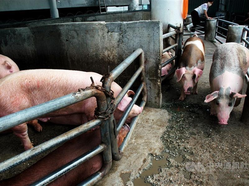 非洲豬瘟多可怕?