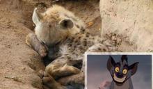 保育員為何討厭《獅子王》?談談天生壞人臉的「非洲五醜」