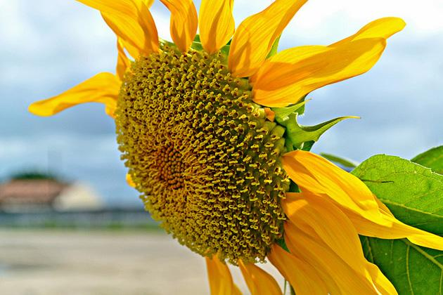Flickr photo of the day: A sunflower by any other name