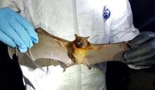 新冠病毒非自然?前港大專家公開論文:舟山蝙蝠病毒合成