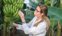 香蕉枯萎病:一場堪比新冠疫情的農業災難