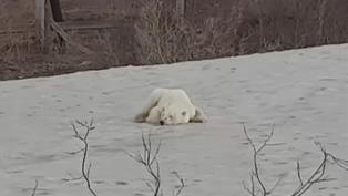 Lost polar bear hunts for food in city in Siberia