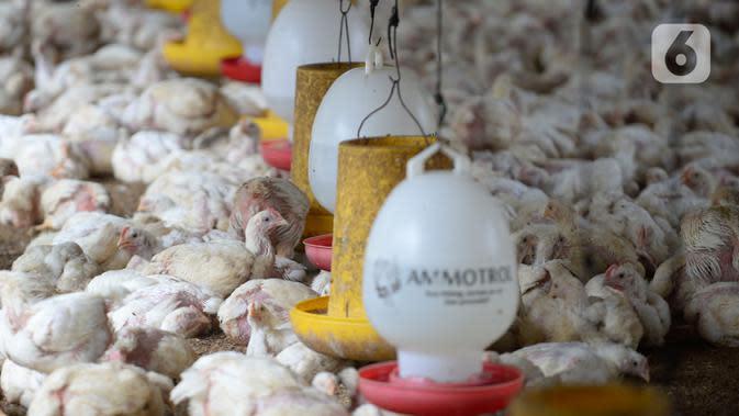 Sekumpulan ayam potong yang sudah siap dijual menunggu makanandi Kawasan Gunung Sindur, Kabupaten Bogor, Jawa Barat, Selasa (22/09/2020). Harga ayam potong di sana dijual Rp 24 ribu per kilogram, di mana saat masa pandemi harganya mengalami naik turun di pasaran. (merdeka.com/Dwi Narwoko)